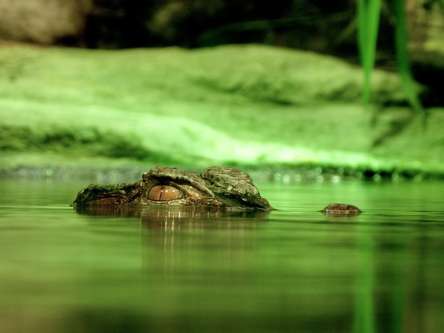 crocodile-small